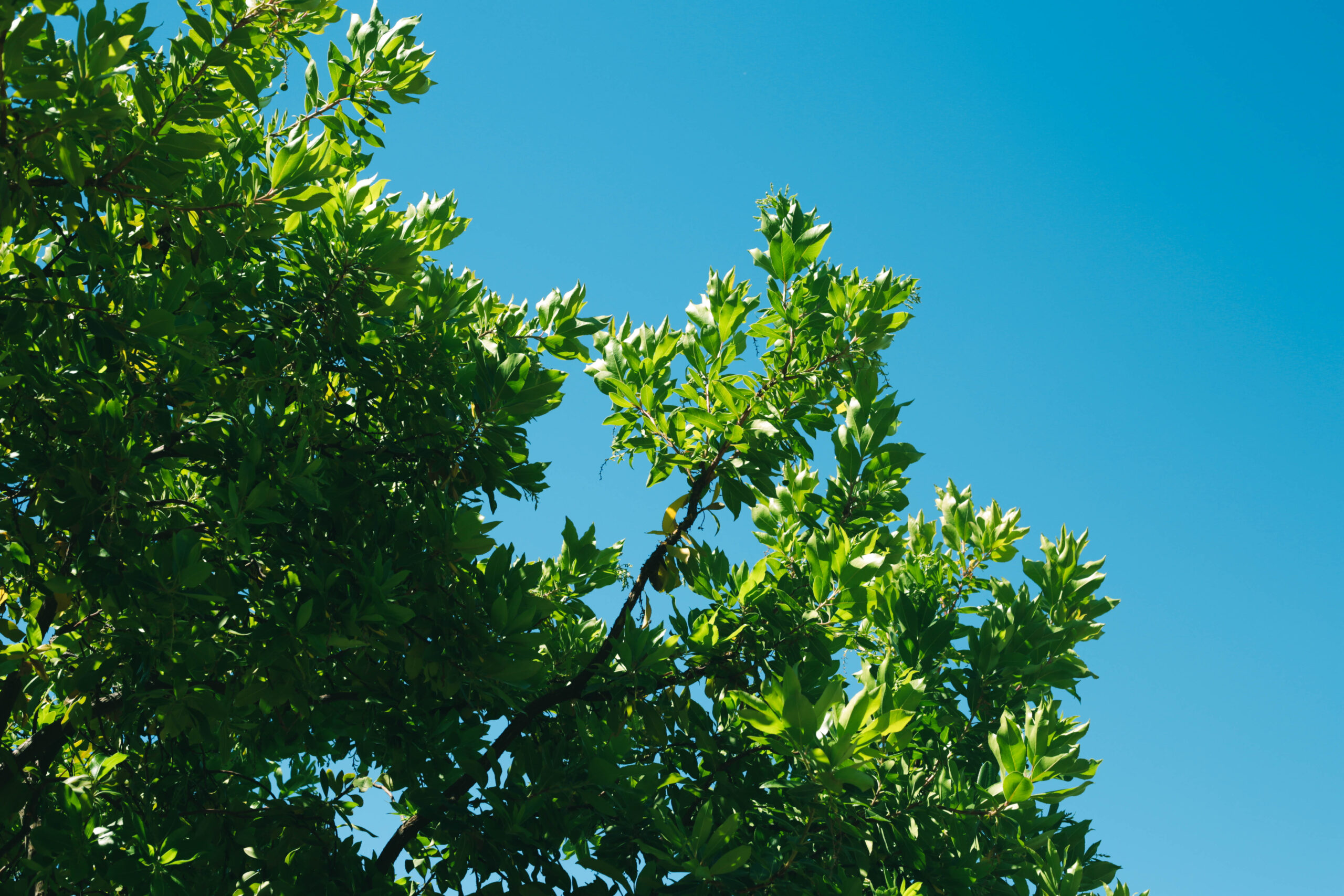 this is an image of fullerton pro tree services of tree trimming